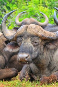Cape Buffalo Addo Elephant Park Tour