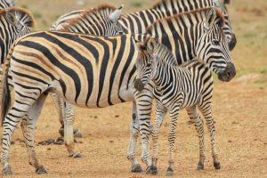 Baby Zebra - Addo Elephant Park Tour