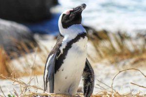 African Penguin - Boulders Beach