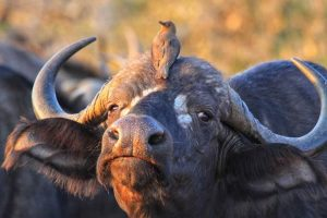 Big-5 - Cape Buffalo