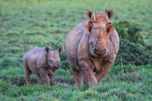 Big-5 - Hooked Lipped Rhino