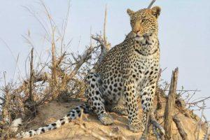 Big-5 - Leopard