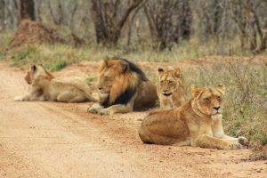 Big-5 - Lions