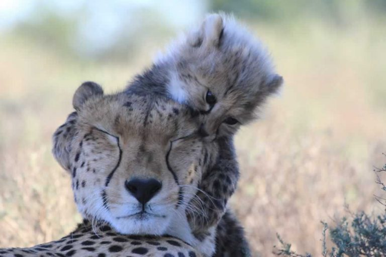 Custom Tours - Cheetah with Baby