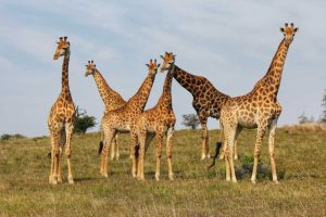 Private Game Reserve Tour - Giraffe