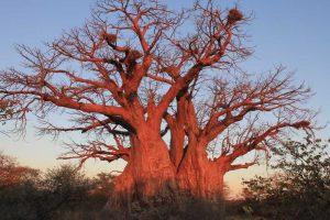Hamilton's Baobab - Limpopo Province