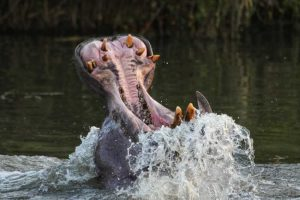 Private Game Reserve Tour - Hippo
