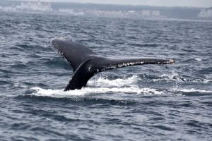Port Elizabeth Marine Tour Humpback Whale