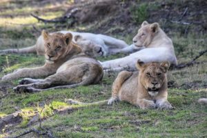 Private Game Reserve Tour - Lions