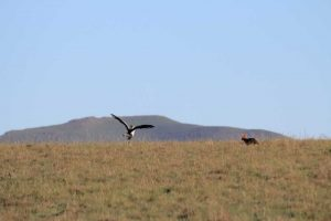 Private Game Reserves - Karoo - Jackal and Secretary Bird