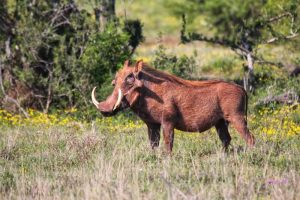 Private Game Reserve Tour - Warthog