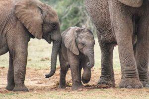 Baby Elephant - Addo Elephant Park Tour