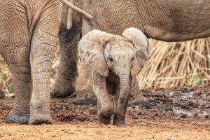 Cheeky Baby Elephant - Addo Elephant Park Tour