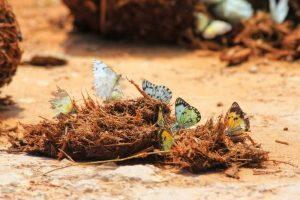 Addo Butterflies
