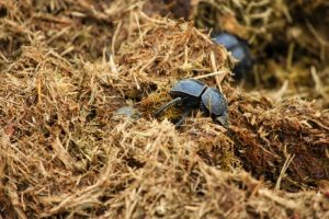 Addo Dungbeetles