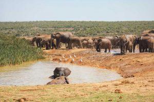 Addo Elephant at Hapoor Dam