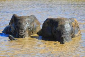 Elephant Bathing - Addo Elephant Park