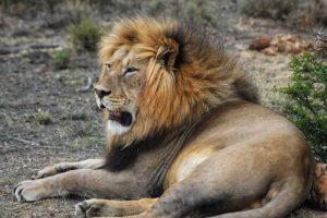 Custom Tours - Male Lion