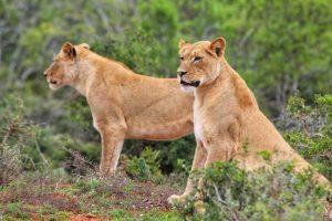 Addo Elephant Park Tour - Lionesses