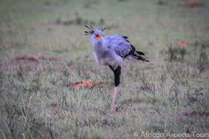 Secretary Bird - Addo Elephant Park Tour