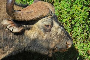 Kragga Kamma Game Park - Buffalo