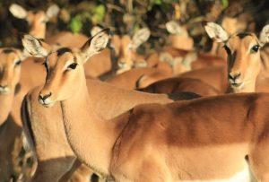 Kragga Kamma Game Park - Impala Ewes
