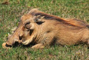 Kragga Kamma Game Park - Warthog