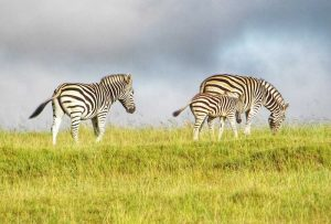 Tour Kragga Kamma Game Park - Zebra