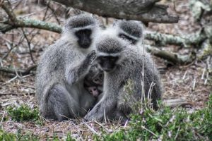 Vervet Monkeys Private Game Reserve Tour